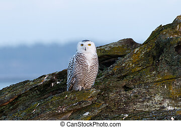Snowy Owl - January 2012, About 28 snowy owls near the foot...