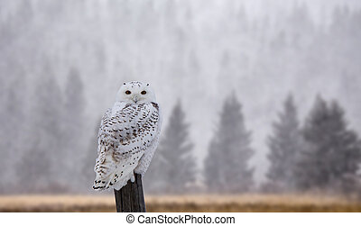 Snowy Owl on Fence Post in Winter Canada