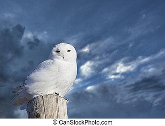 Snowy Owl Perched winter Saskatchewan Canada cold
