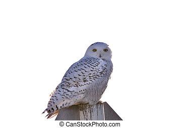 Snowy Owl Perched in Saskatchewan Canada in Winter