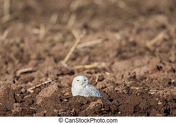 Snowy Owl Sitting in a Farm Field