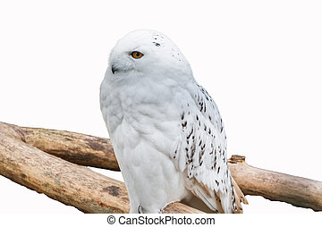 Snowy owl sitting on a branch in front of a white background