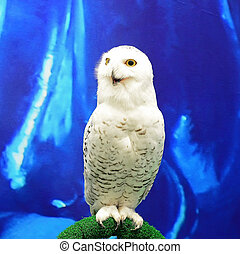 Snowy Owl (Bubo scandiacus), face profile