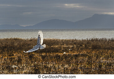 Snowy Owl - December 2012, About 28 snowy owls near the foot...