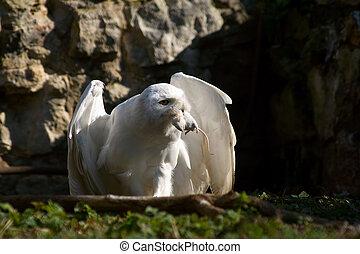 Snowy owl with prey 2