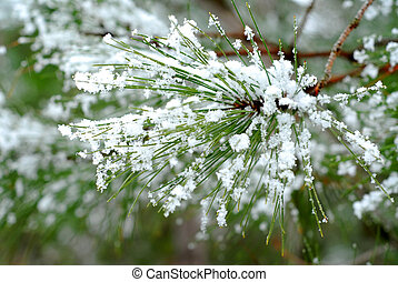 Snowy pine needles - Pine needles with snowflakes; single...