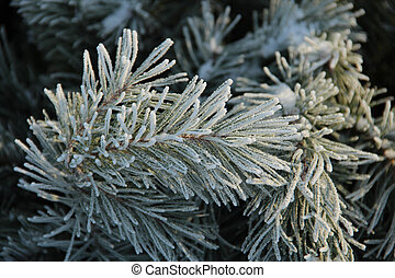 Snowy pine tree a sunny winter day