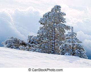 Snowy pine-trees.