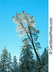 Snowy Pines at Yosemite