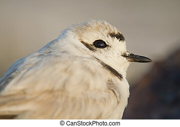Snowy Plover Close-up