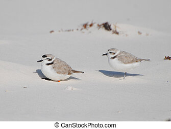 Snowy Plover pair