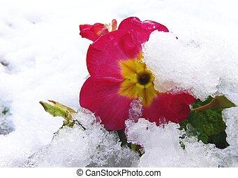 Snowy Primrose - A pink primrose caught in a springtime snow...