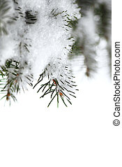 Snowy spruce branches - Christmas background with snowy...