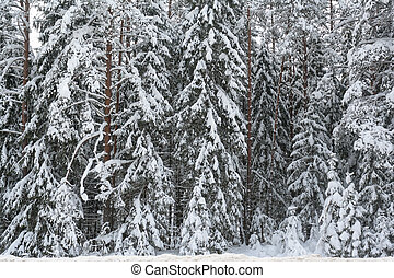 snowy spruce branches