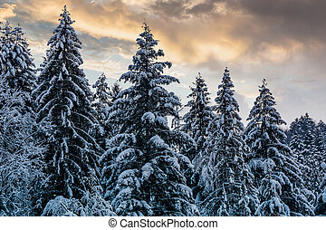 snowy spruce forest under evening sky