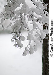 Snowy spruce,