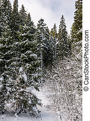 snowy spruce trees in forest. lovely nature background in...