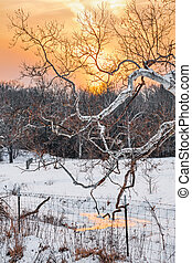 Snowy Sycamore Sunset