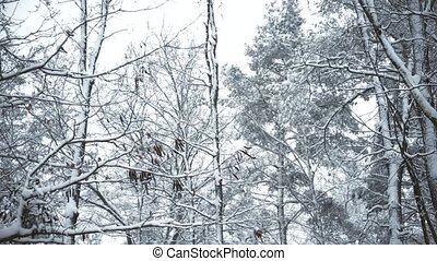 Snowy tops of trees swaying in breeze in forest or park in...