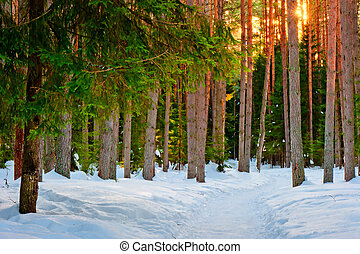 Snowy trail in the winter coniferous forest