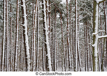 Snowy tree trunks in a pine tree forest