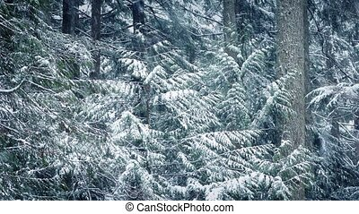 Snowy Trees In Blizzard - Large forest trees in heavy...