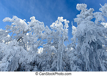 Snowy Trees in Winter