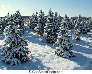 snowy trees - snow-covered trees on a Christmas tree farm