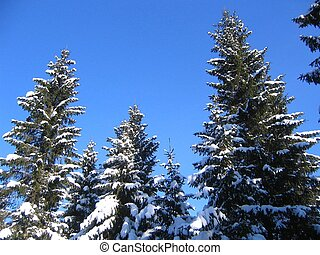 Spruces with snow against a blue sky