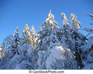 Snowy treetops - Treetops covered with snow