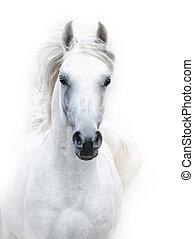snowy white arabian stallion against the white background