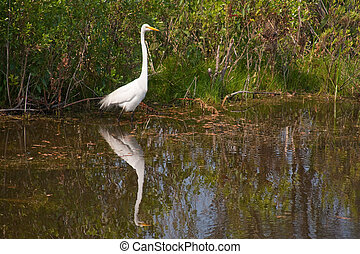 Snowy White Egret waiting to catch a meal
