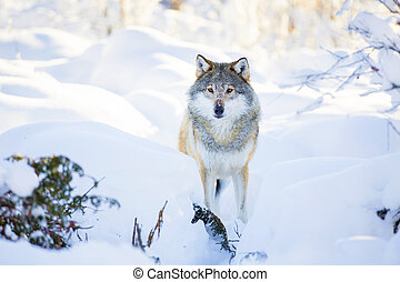 Snowy wolf stands in beautiful winter forest. One wolf