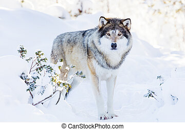 Snowy wolf stands in beautiful winter forest - One wolf...