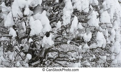 Snowy zelkova tree - Snow piled up in zelkova tree twig