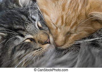 full frame portrait of two red and grey kittens snuggling together