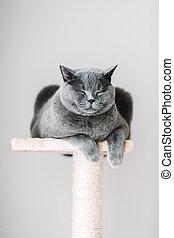 soñoliento, gato, colocar, en, el, scratcher.