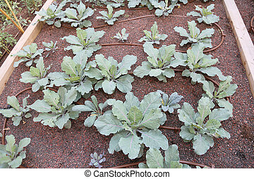 cabbage plants in the garden with automatic irrigation system ag