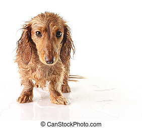 Soaked puppy - Soaking wet puppy looking very unhappy.
