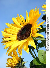 soaking up the sun - a sunflower seeking out the sun