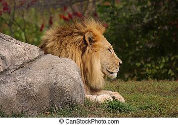 Soaking up the sun - Male Lion