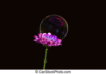 Soap bubble on pink flower on black background