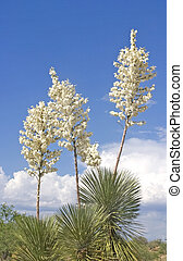 Flowering stalks of Soaptree Yucca, Yucca elata, along Rt. 77, Oro Valley, Arizona