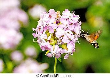 soapwort, commun, hawk-moth, colibri