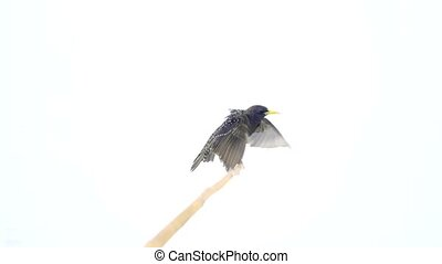 soaring European Starling (Sturnus vulgaris) isolated on a...