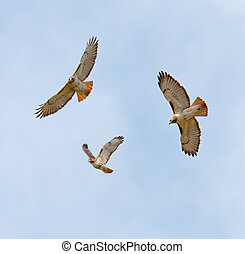 Soaring Hawks - Soaring Red-Tailed Hawks (Buteo jamaicensis)...