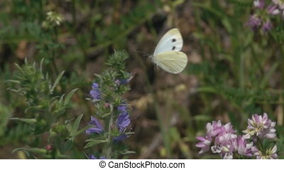 Soaring in the air cabbage white butterfly, pieris brassicae in meadow