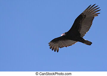 Soaring Turkey Vulture