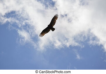 Soaring Turkey Vulture