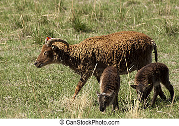 Soay Sheep - The Soay sheep is a primitive breed of domestic...